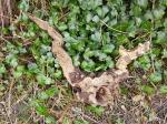 Herne in Ivy